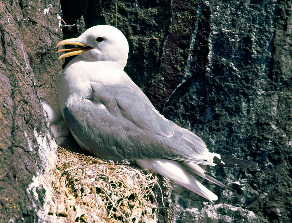 The Kittiwake Bird